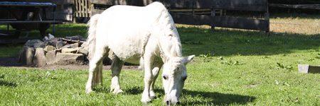 Paard wit